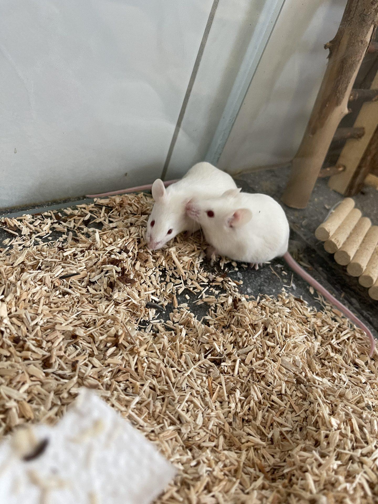 Mäusegruppen